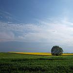 - Wierzba w polu