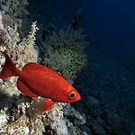 2011-04-11-16-51_P4119581-02-850_Gota_Sharm_Common_Bigeye.jpg