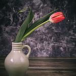 - tulipanowo
