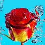 - róża
