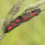 - Kraśnik sześcioplamek (Zygaena filipendulae)