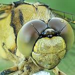 Lecicha pospolita (Orthetrum cancellatum) samiczka