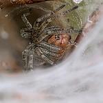 Lejkowiec labiryntowy (Agelena labyrinthica)