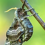 Nastrosz półpawik (Smerinthus ocellatus)