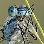 Pałątka niebieskooka (Lestes dryas) samiec