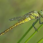 Żagnica południowa (Aeshna affinis)