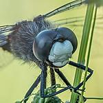 Zalotka większa (Leucorrhinia pectoralis)