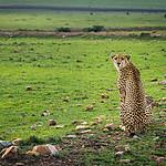 Gepard grzywiasty