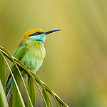 20180105_little_green_bee-eater_001.jpg