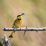 20181112_Little_bee-eater_001.jpg
