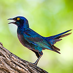20181114_Cape_glossy_starling_001.jpg