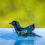20181117_cape_glossy_starling_002.jpg