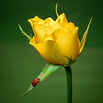 HD_yellow_rose_1.jpg