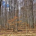 Bukowy las dzisiaj...