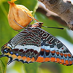 Two_Tailed_pasha_feeding_on_fig_tree.jpg