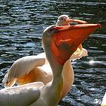 - Pelikan