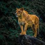 Lwica z wrocławskiego zoo