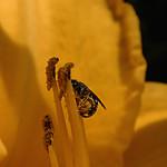 Zbióry pyłku na liliowcu